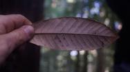 Foglia-pinhole