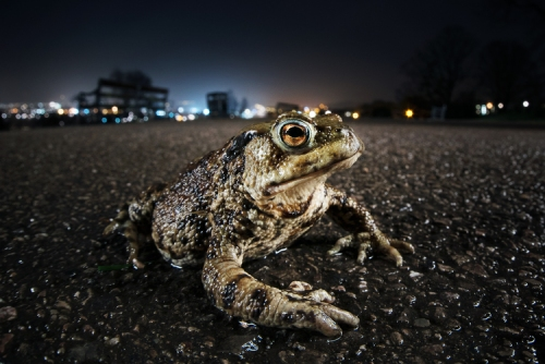 Common toad (Bufo bufo). Bristol. March