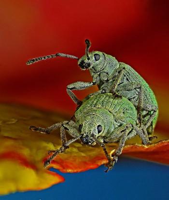 10-Phyllobius-roboretanus