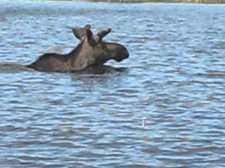 Alce che nuota